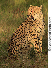 Cheetah sitting in the morning light
