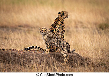 Cheetah sitting on earth mound by cub