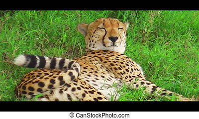 Cheetah sleeping on grass - Male cheetah sleeping on the...