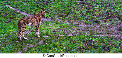 Cheetah standing in a grass pasture, threatened cat specie from Africa
