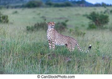 cheetah - portrait of a cheetah on a background of savanna