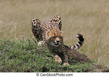 Cheetah stretching in the grass with sunlight