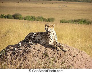 Cheetah waiting on termite mound.