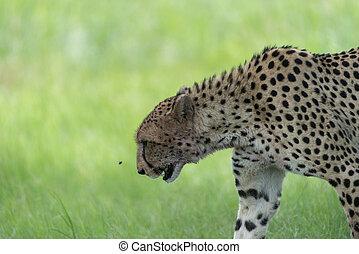 Cheetah walking 3