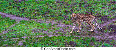 cheetah walking in a pasture and looking towards the camera, threatened cat specie from Africa