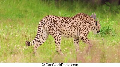 Cheetah walking on field in forest - Slow motion of cheetah ...