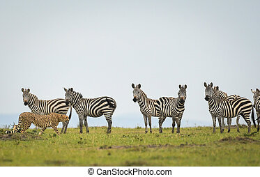 Cheetah walking past zebras in Masai Mara Game Reserve