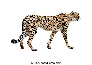 Cheetah Walking Profile Isolated on White - Profile of...