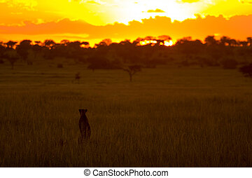 Cheetah Watching Sunset - African Cheetah in Front of Sunset