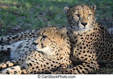 Cheetah Wild Cats - Two cheetah wild cats resting on the ...