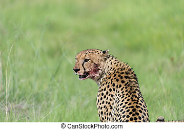 Cheetah with blood on face 3