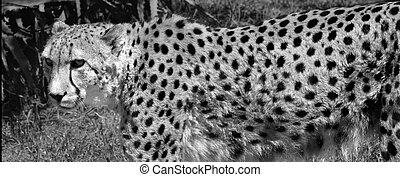 cheetah, zuidelijke afrikaan