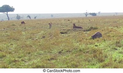 animal, nature and wildlife concept - cheetahs and hyena in maasai mara national reserve savanna at africa