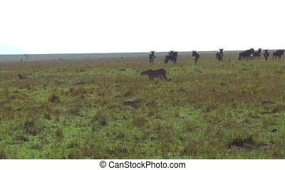 cheetahs and wildebeests in savanna at africa