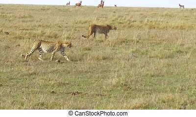 cheetahs hunting in savanna at africa