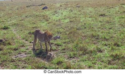 animal, nature and wildlife concept - cheetahs hunting in maasai mara national reserve savanna at africa