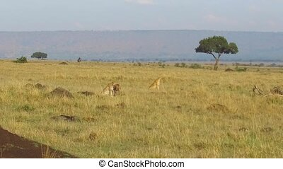cheetahs hunting in savanna at africa - animal, nature and...