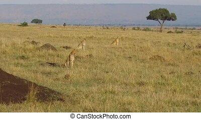 cheetahs hunting in savanna at africa