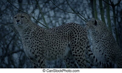 Cheetahs In The Evening
