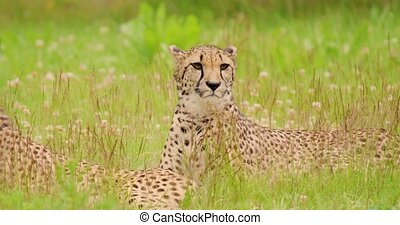 Cheetahs lying on field in forest - Panning shot of cheetahs...