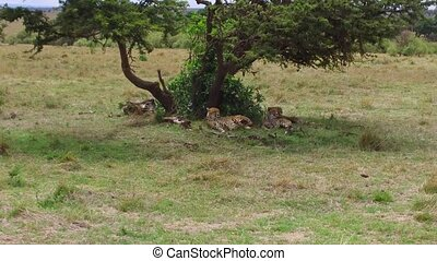 cheetahs lying under tree in savanna at africa