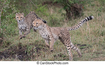 Cheetahs on the hunt and running in Masai Mara Game Reserve, Kenya
