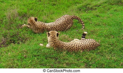 Cheetahs resting on grass of Ndutu - Two young brother...