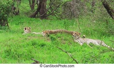 Cheetahs resting on grass