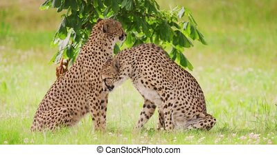 Cheetahs yawning on grassy field. Big cats are in forest. They are in wilderness area.