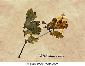 Chelidonium majus in herbarium - Herbarium from pressed and ...