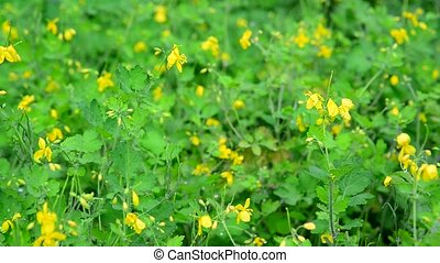 Chelidonium - medicinal plants pure flowering - Chelidonium...
