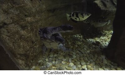 Chelodina, collectively known as snake-necked turtles stock footage video