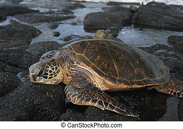 protected Green Sea turtle