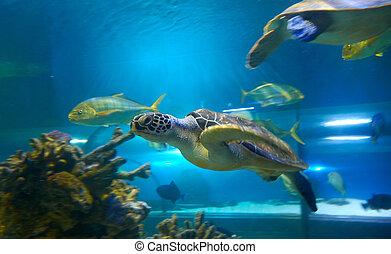 Cheloniidae (sea turtle) is swimming in aquarium