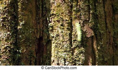 chenille, arbre grimpeur, vert