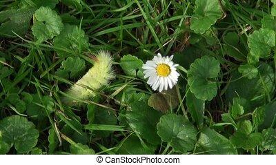 chenille, herbe