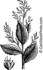 Chenopodium anthelminticum or Wormseed Goosefoot vermifuge plant and flower vintage engraving.