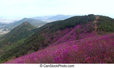 Cheonjusan Mountain Jindallae Azalea Flower Blooming ,...