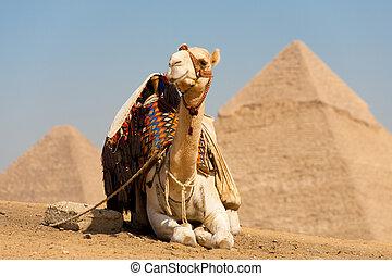 cheops, descansar, blanco, camello, pirámides
