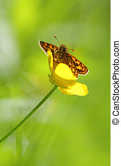 Chequered Skipper butterfly sitting on a flower in spring