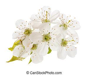 cherries flowers isolated