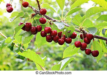 Cherries - Fresh cherries on the tree.