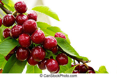 Cherries hanging on a cherry tree branch.