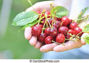 cherries in woman hands