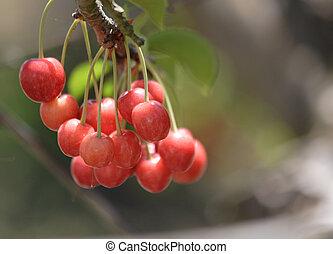 Cherries - Juicy cherries ready to pick.