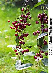 Cherries on a branch in the garden.