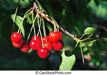 Cherries on a cherry tree branch