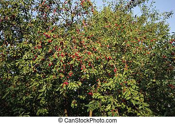 cherries on a cherry tree