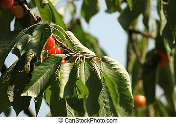 cherries on a tree in the summer