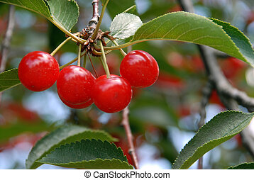 Cherries on the Tree - A cluster of red Montmorency Michigan...